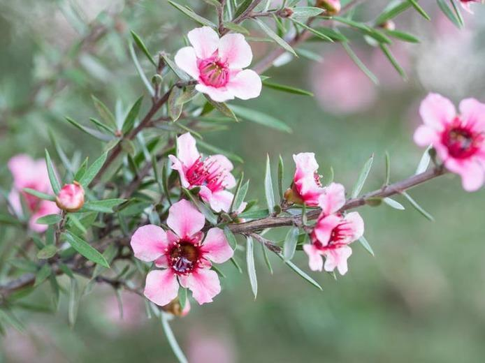The infamous Manuka plant, the nectra allows for the creation of the powerful Manuka Honey.