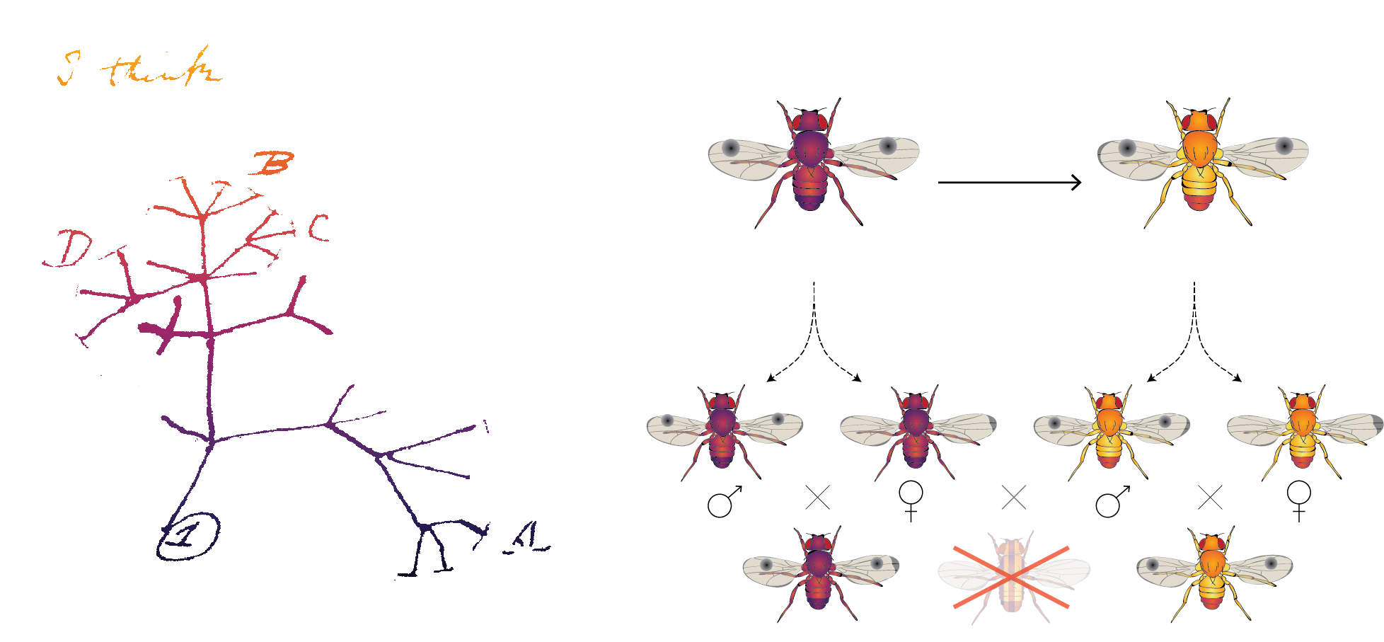 2. Engineered Speciation - Species boundaries are defined by pre-zygotic and post-zygotic barriers to genetic exchange. By engineering such barriers, we can essentially create 'new' species. We apply this technology to limit the gene flow between populations and as a mechanism to control or eradicate pest organisms. Synthetic species can also be used as drivers of evolution in competitive co-cultures.