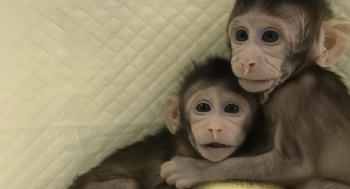The cloned monkeys huddle while adjusting to the photographer's presence.