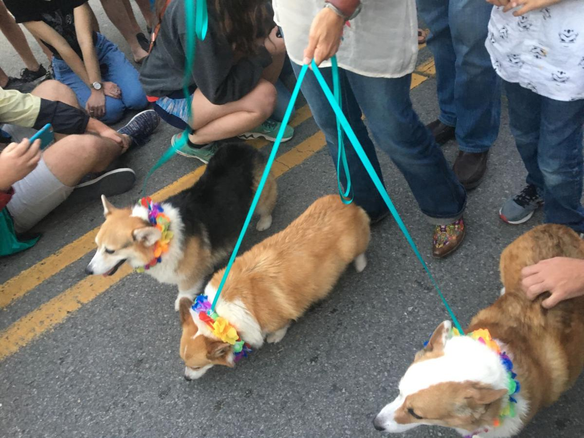 Corgis marched down the street to the tune of oohs and aws from the large crowd that gathered.  Kenzie Holton/ Lee Clarion