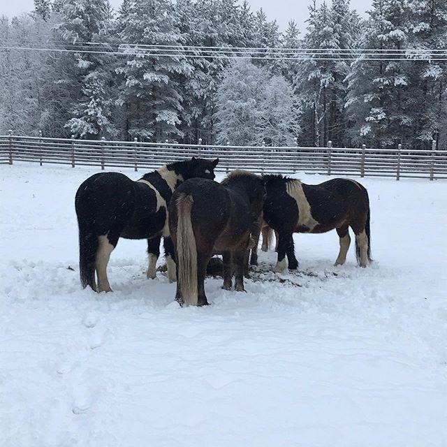 Winter is coming🦄⛄️#issikka #islanninhevonen #ishäst #talvitulee #flaumurtalli #visittanhua #visitsavukoskikorvatunturi
