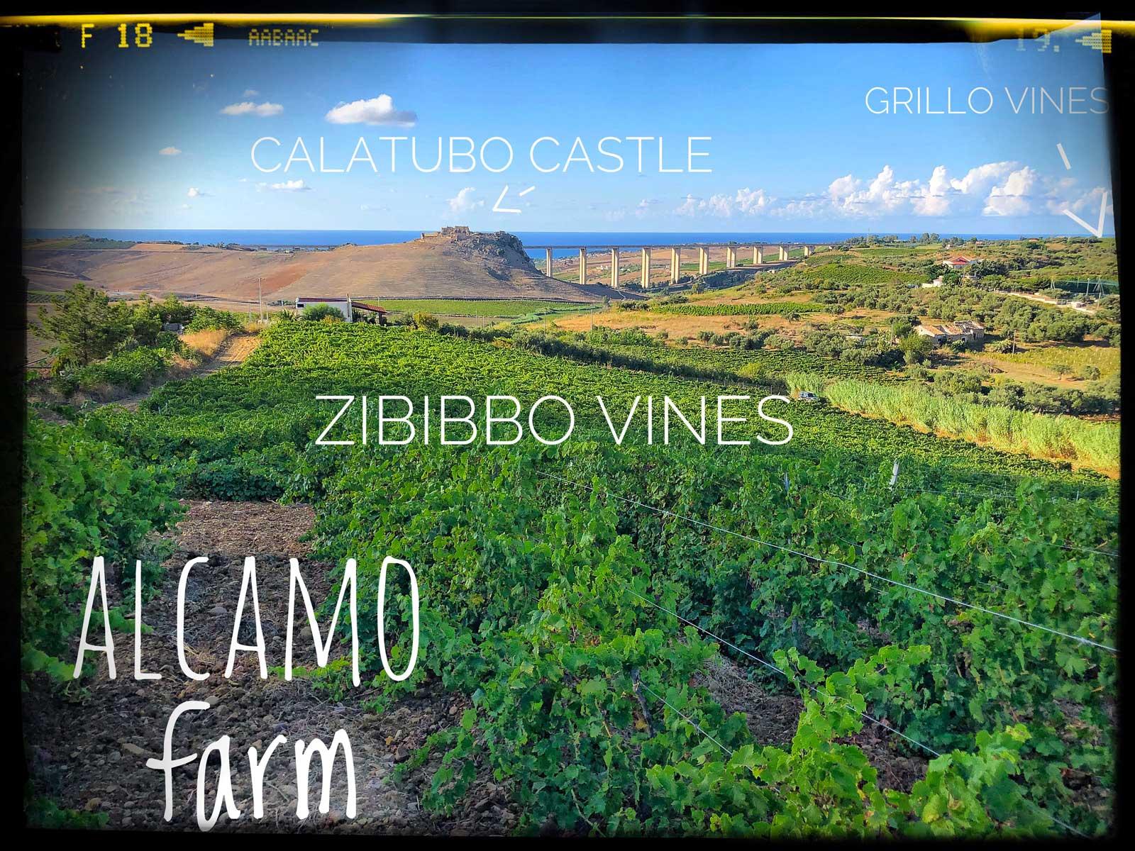 alcamo_zibibbo_crop.jpg
