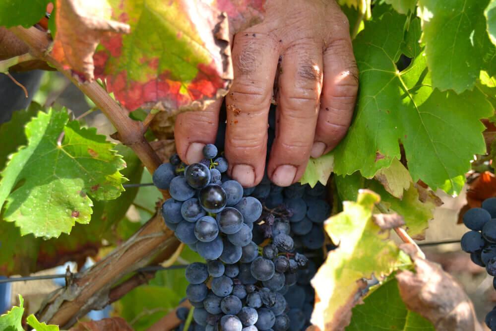 nero d'avola grapes elios natural wines