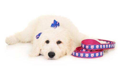 New Puppy Collar Pig Dog Collar Piggies New Puppy Collar Playful Piggies The Piggies Olivia and Lemon Fun Dog Collar