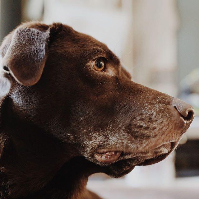To err is human — to forgive, canine. . . . . #dogsoftacoma #chocolatelab #pnwphotographer #tacomawashington #tacomawa #gritcity #petportraits #petphotography #labsofinstagram #tacomaphotographer #southsoundlife