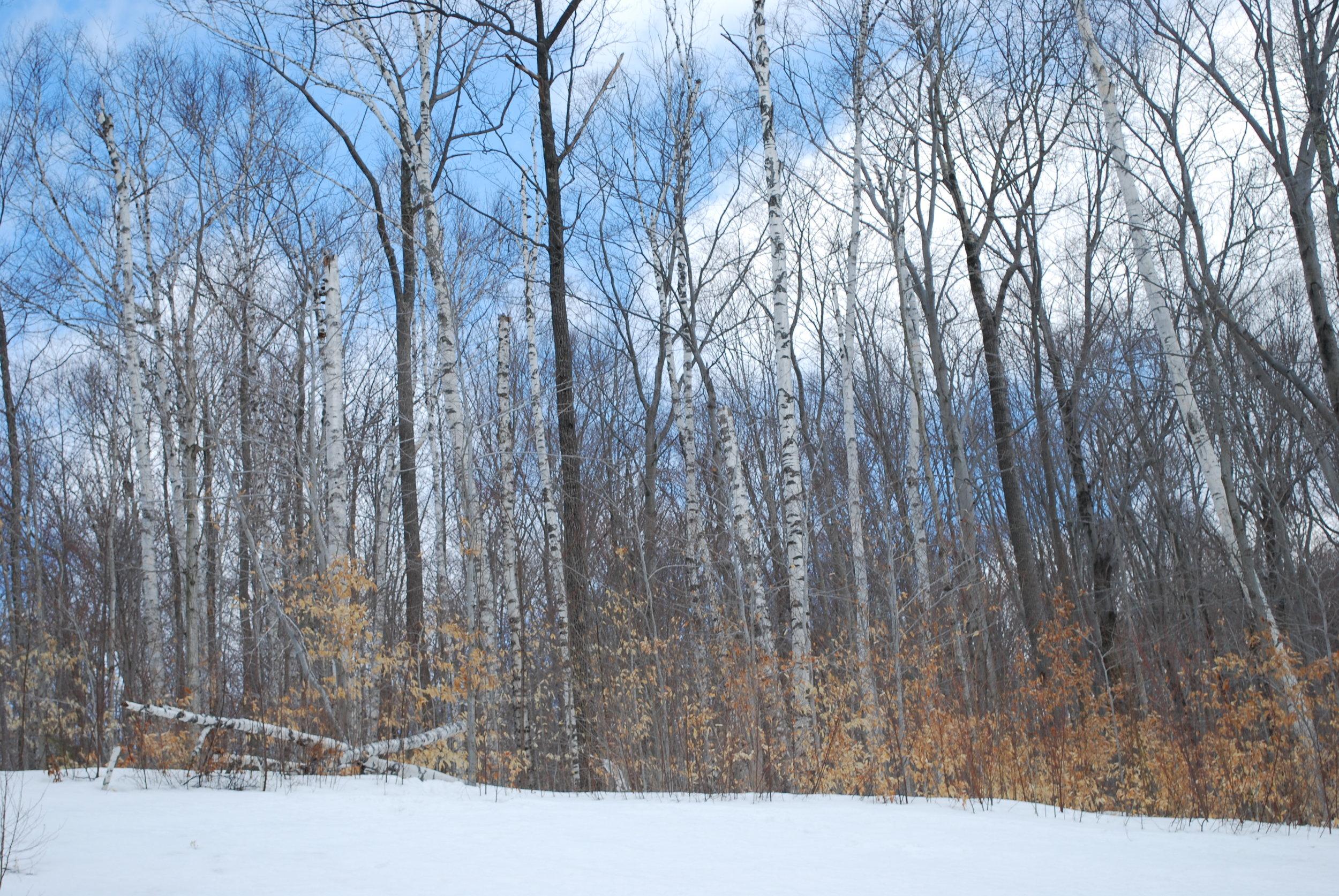birches-snow.jpg