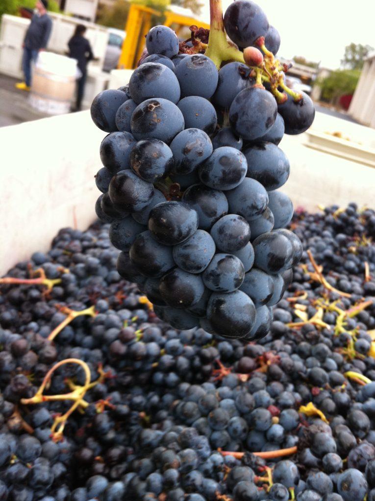 Blaufränkisch grape, photo by Agne27