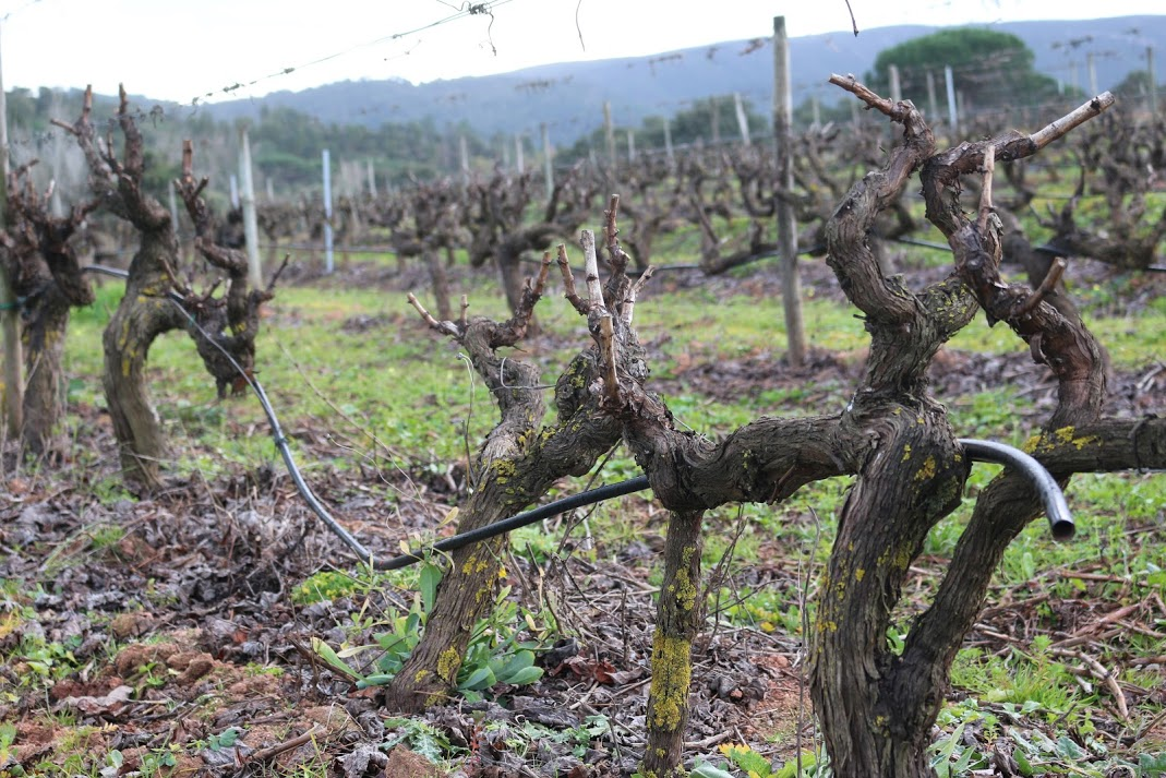 Old Vines at Quinta de Alcube