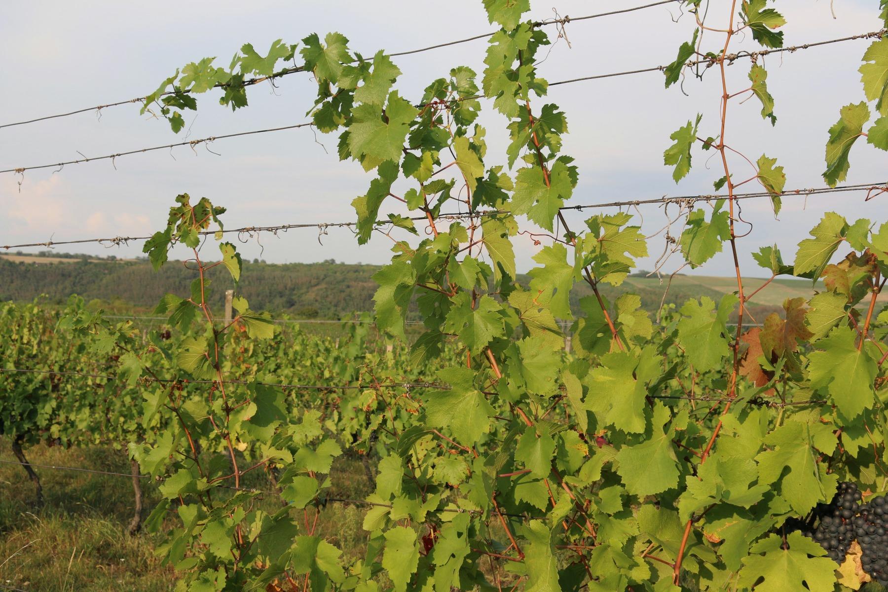 vineyards dva duby (1).jpg
