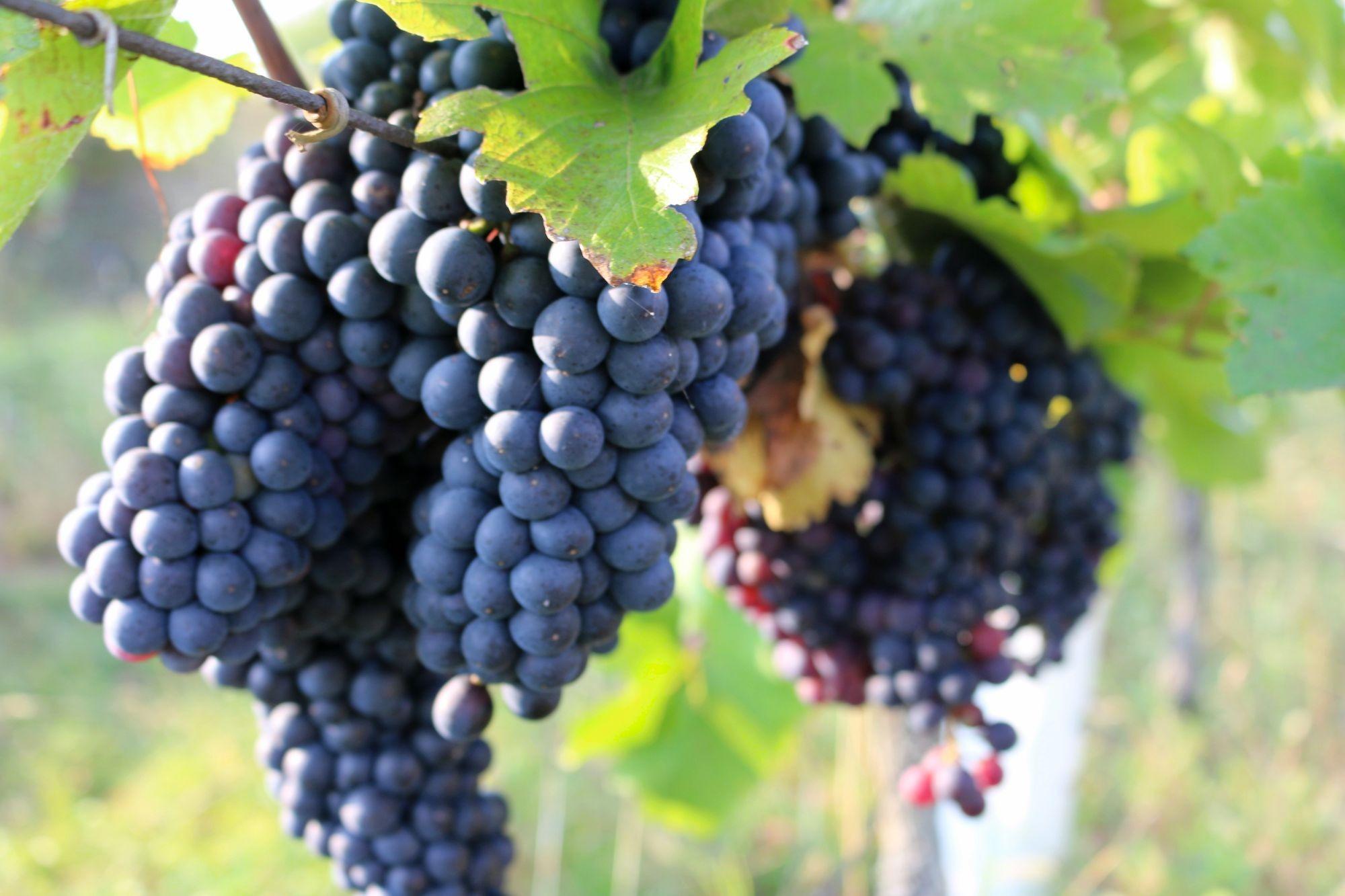 saint laurent grapes.jpg