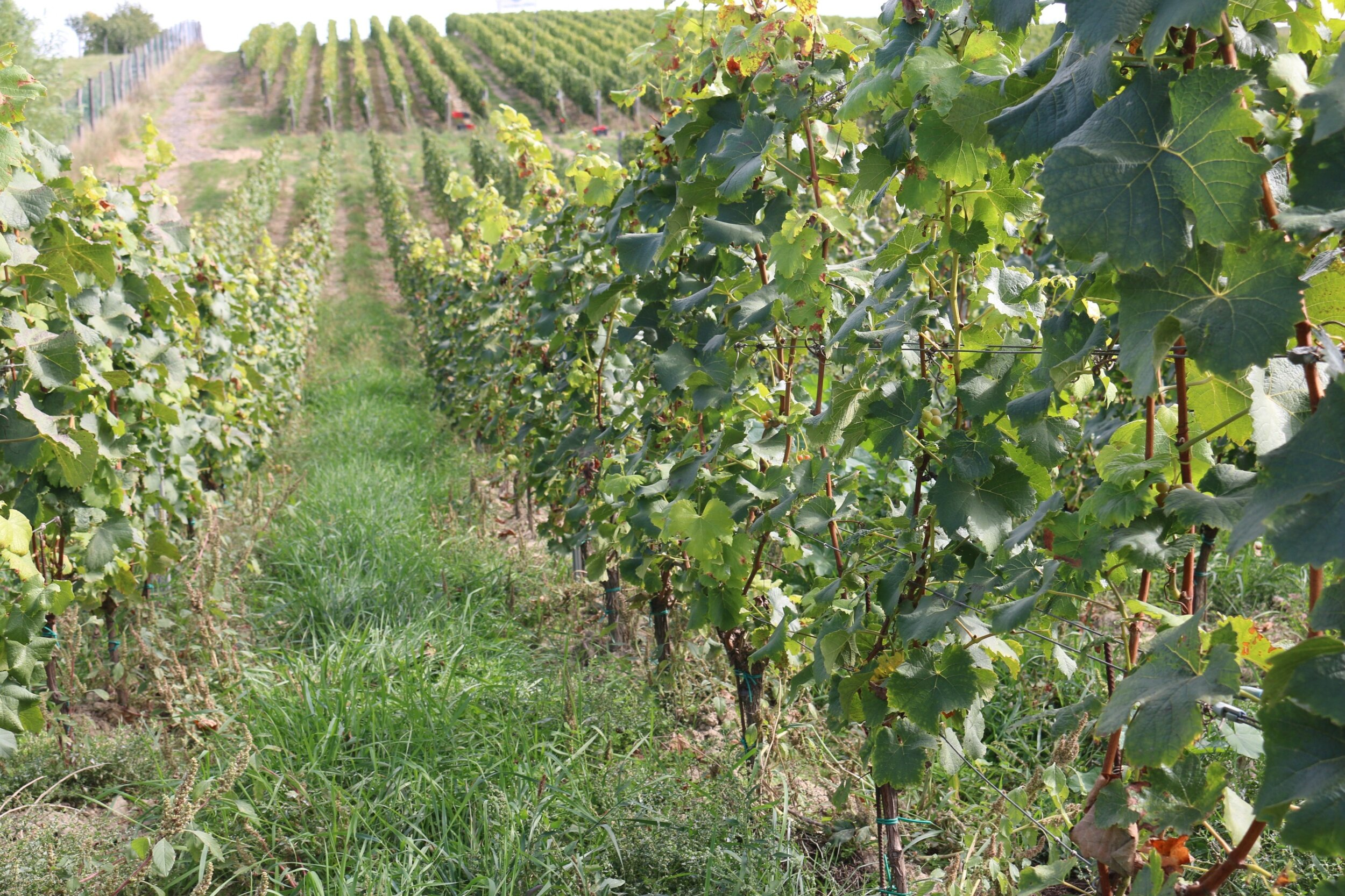vaclav vineyard.jpg