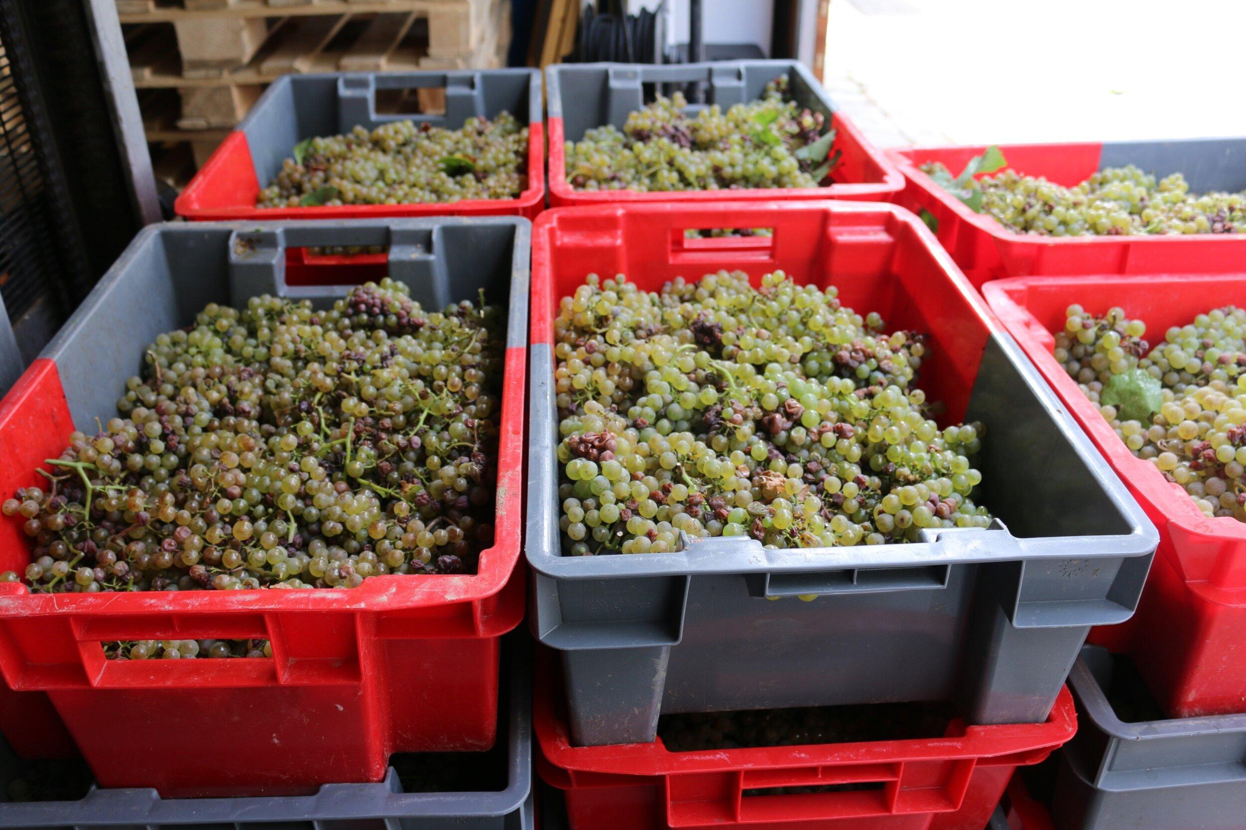 crates grapes.jpg