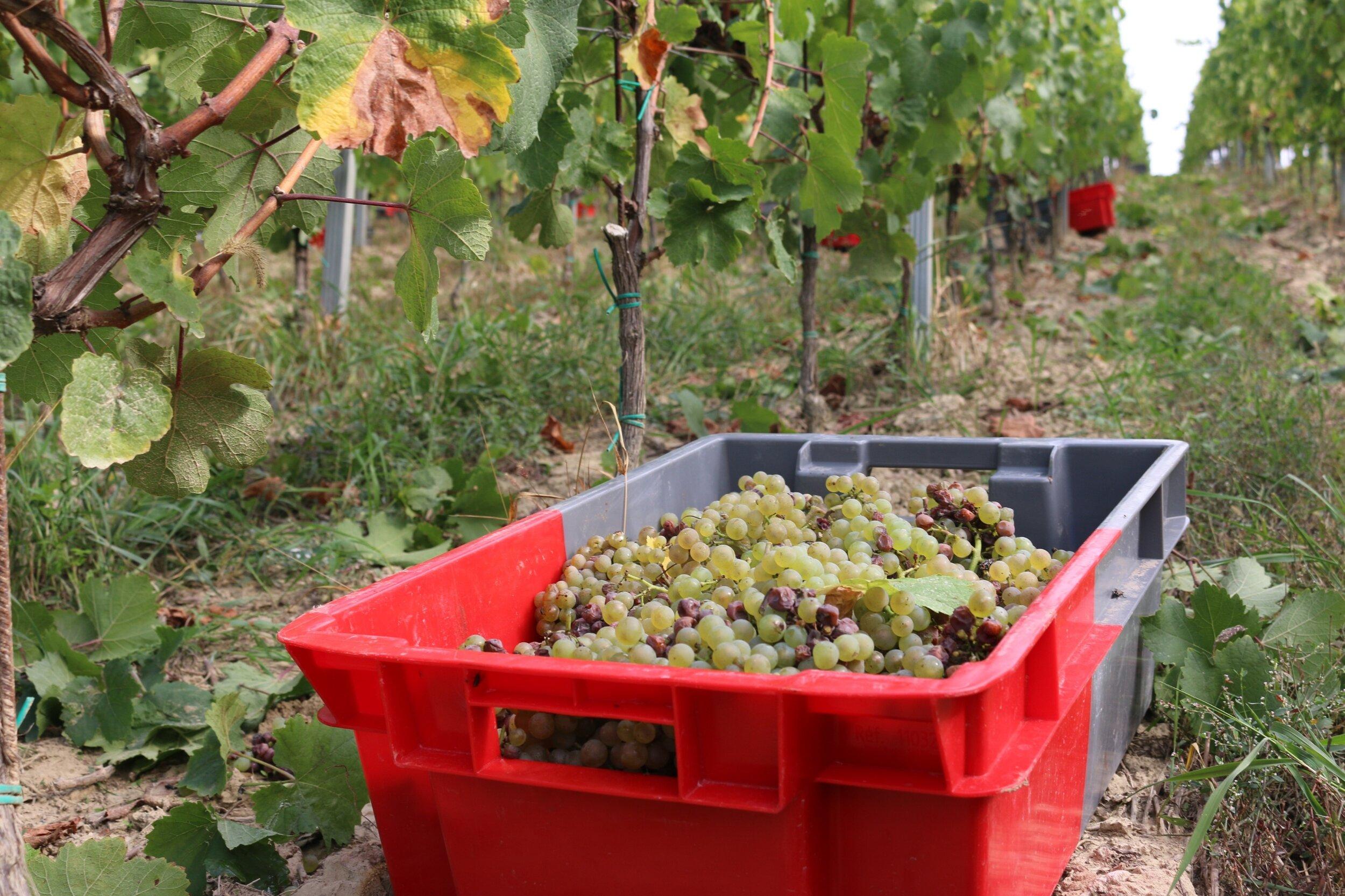 crates vineyards.jpg