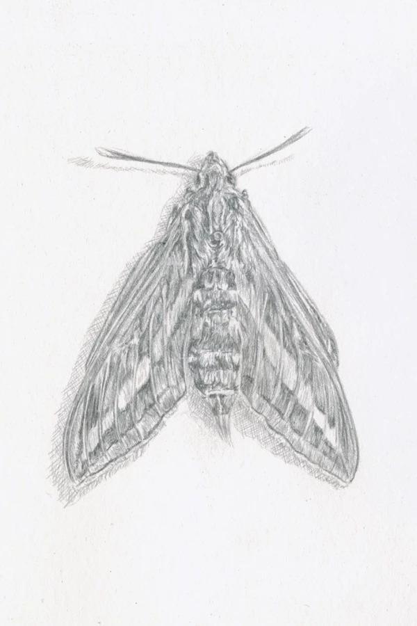 White Line Sphinx Moth
