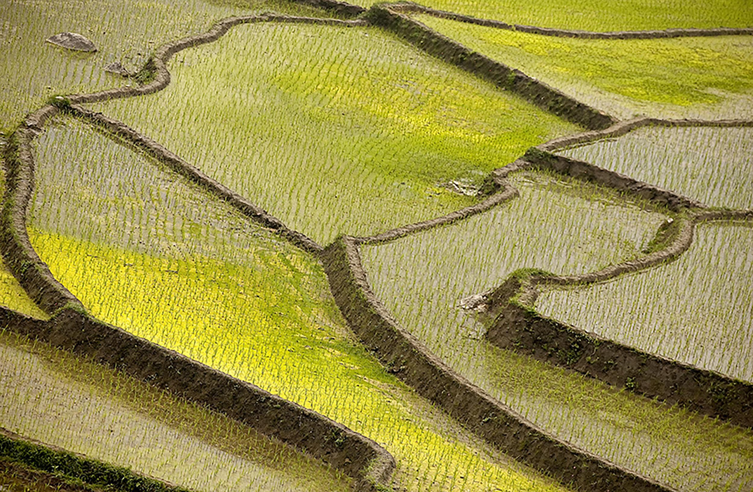 Rice Paddy 2