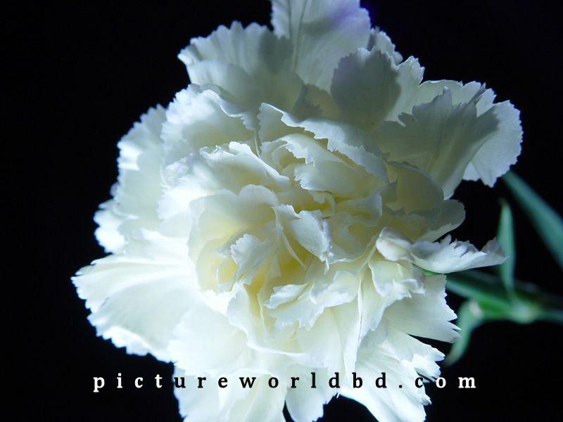 carnations 5 pictureworldbd.com.jpg