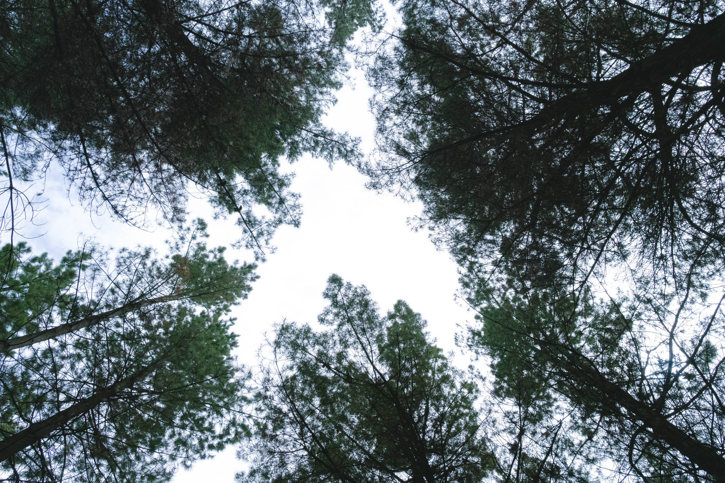 Have you ever just looked up when you are surrounded by pine trees?