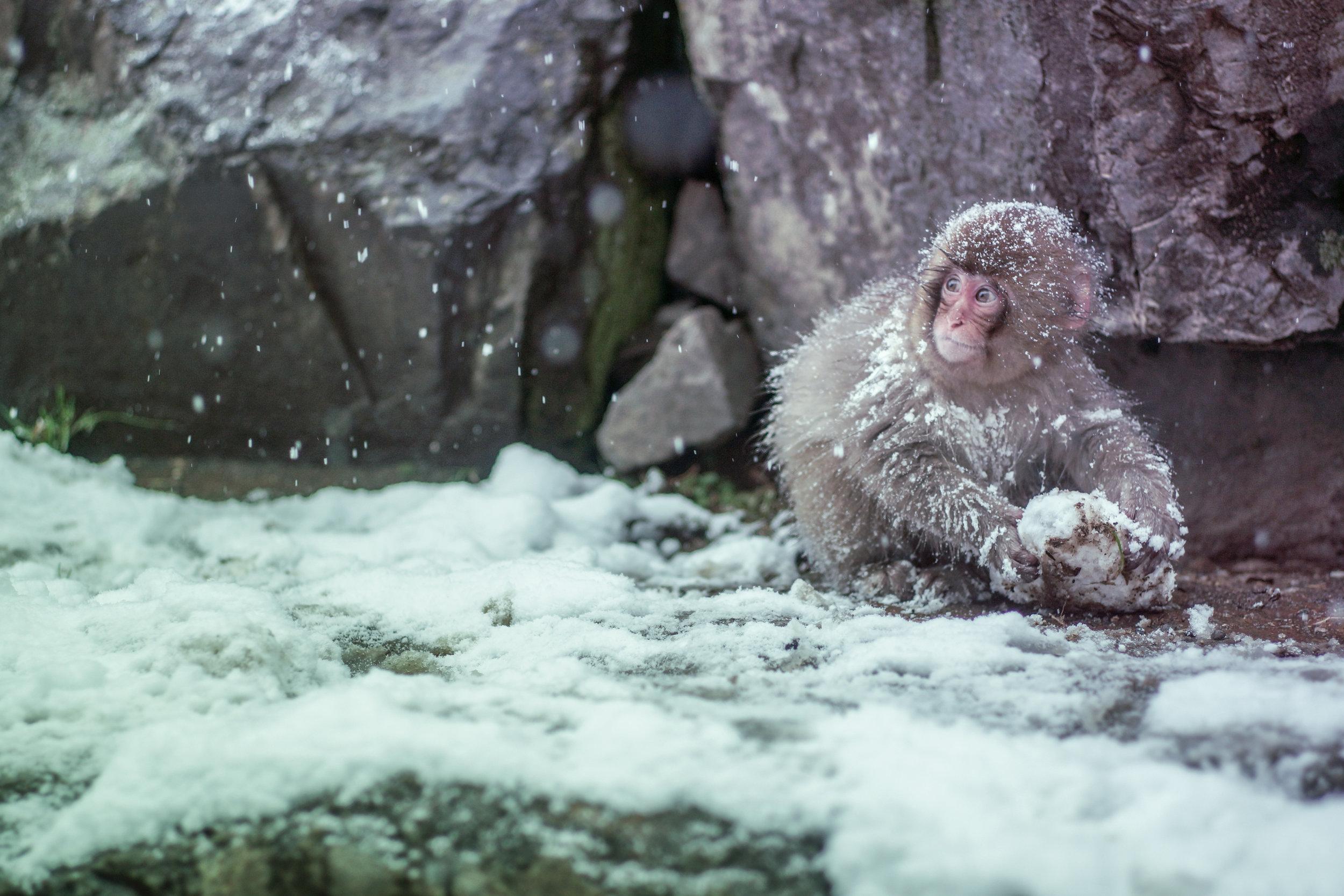 Monkey in Japan