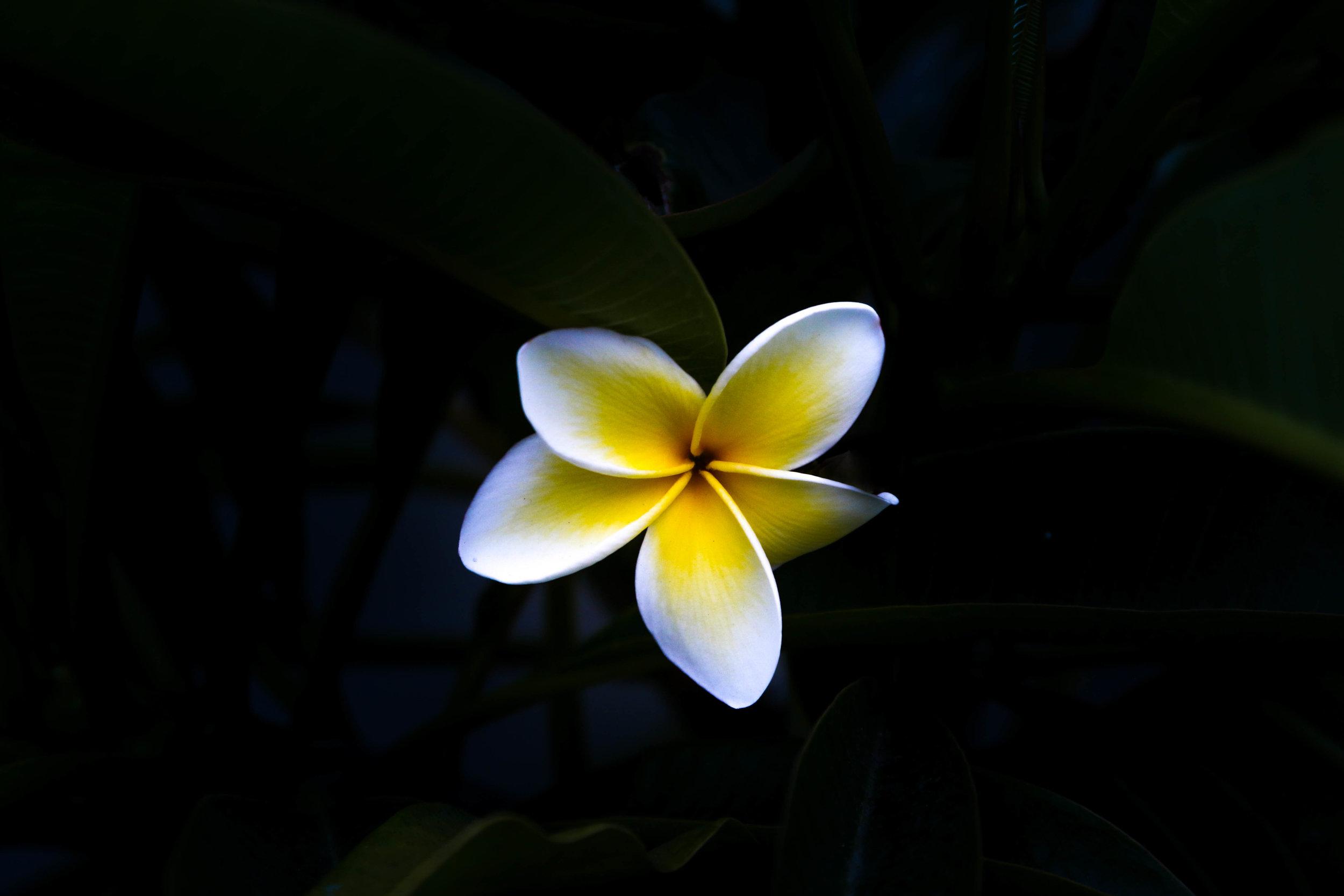 Plumaria Flower