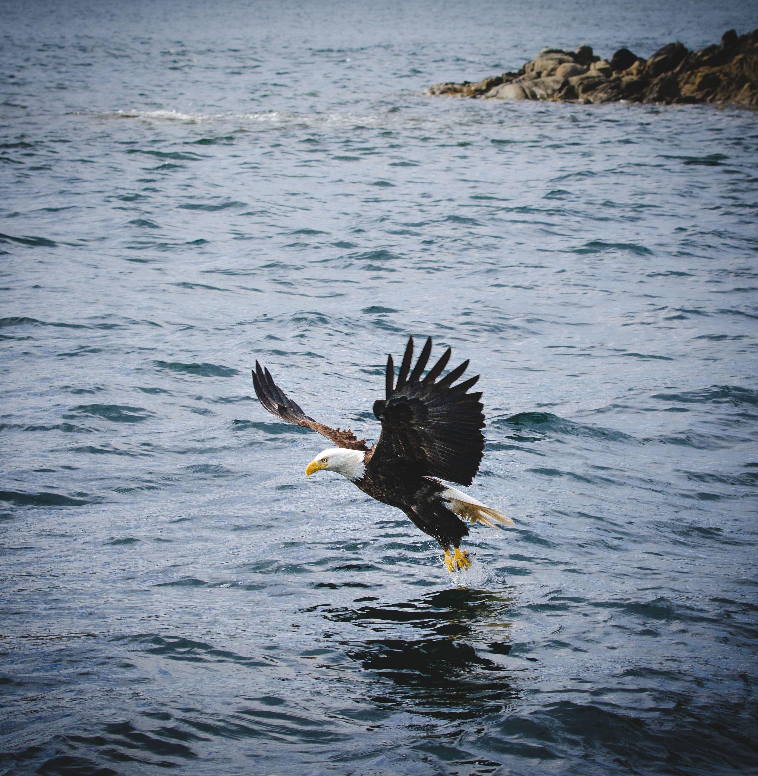 Bald eagle_1.JPG