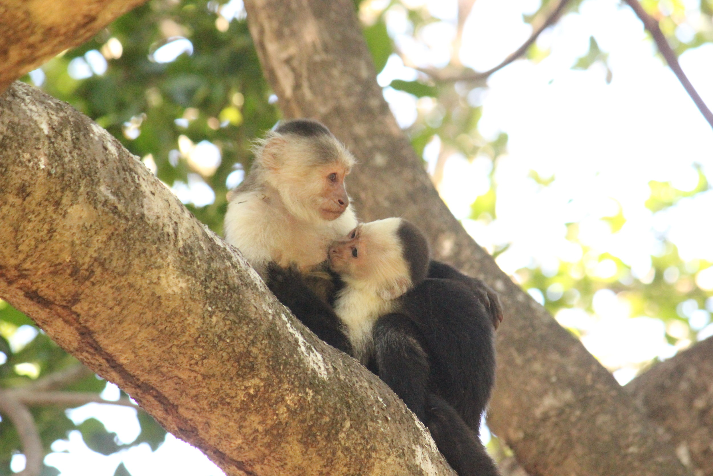 A white-faced capuchin adult female nurses a juvenile. Capuchins exhibit slight modification of behaviour throughout their reproductive cycle, but it remains unknown how they cope with increased energetic costs of pregnancy and lactation. I am investigating the potential role that gut symbionts play in helping capuchins mediate these costs. Photo credit: David Hormann