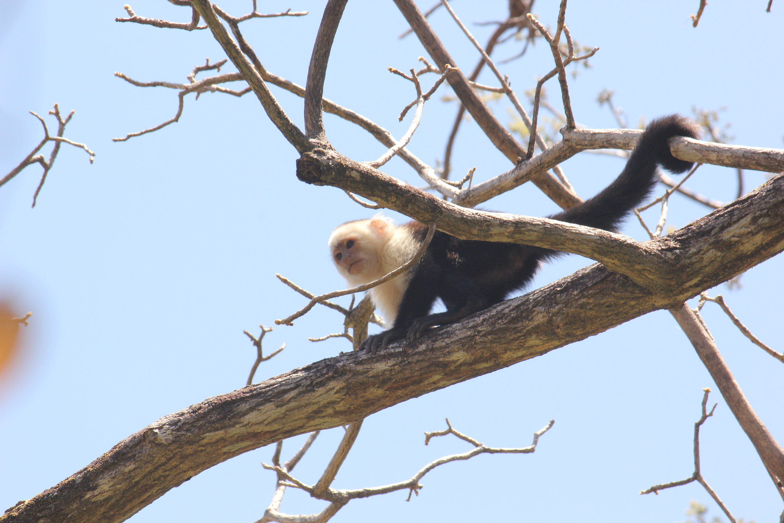 Some primates, including white-faced capuchins, inhabit extremely seasonal habitats. Along with many collaborators at Sector Santa Rosa, Costa Rica, I am interested in how primates cope with extreme seasonal change through modifications to diet, behaviour, and gut microbes. Photo credit: David Hormann