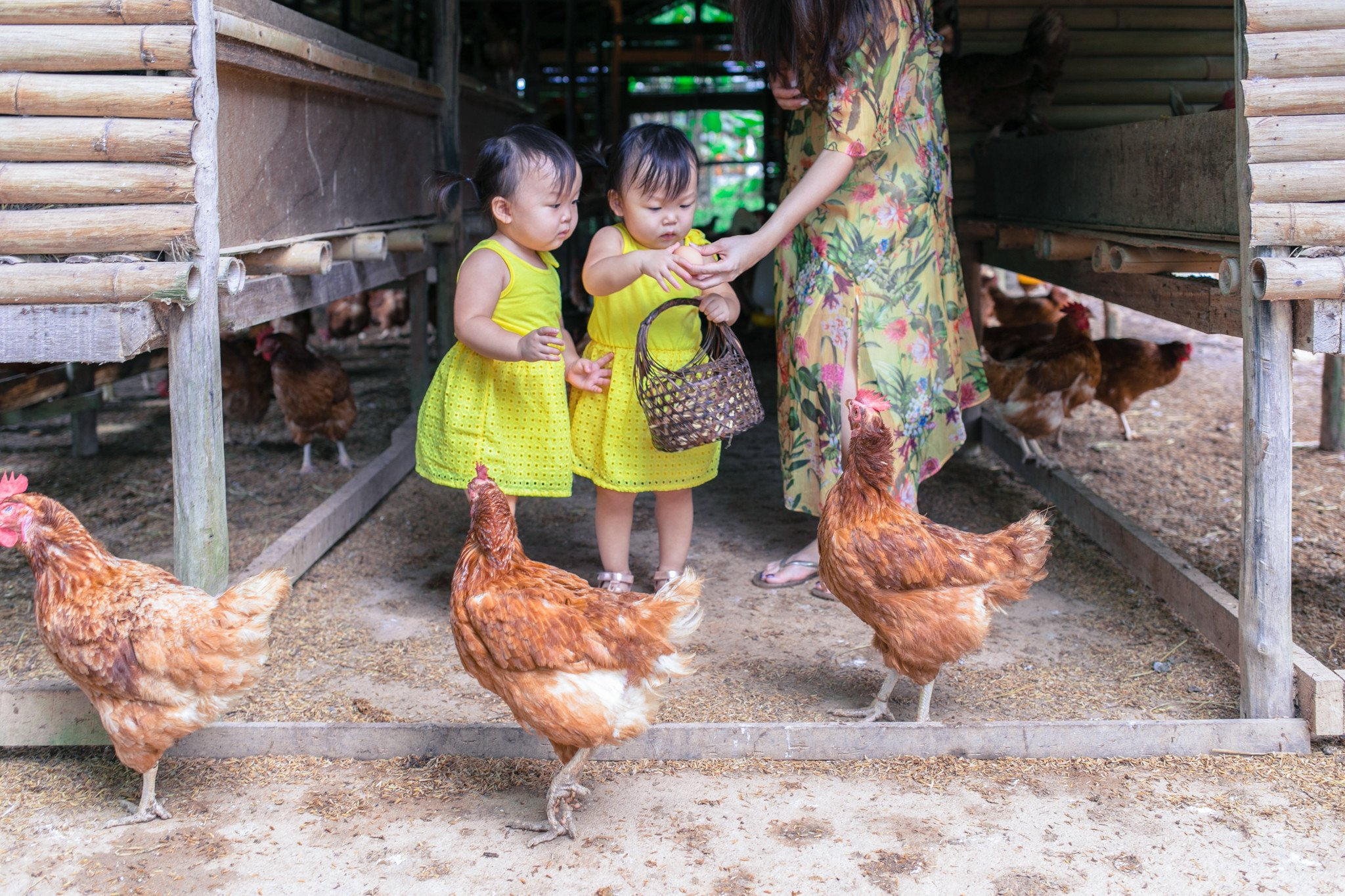 Collecting their own fresh eggs for breakfast from the little chicken farm in the resort!