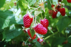 raspberries - *We have a very limited raspberry crop for the 2019 season*Raspberries usually crop from mid-July until late July/early August. We grow a few acres of summer raspberries between the home farm and one 1/4 mile before the home farm on West Hill Rd.