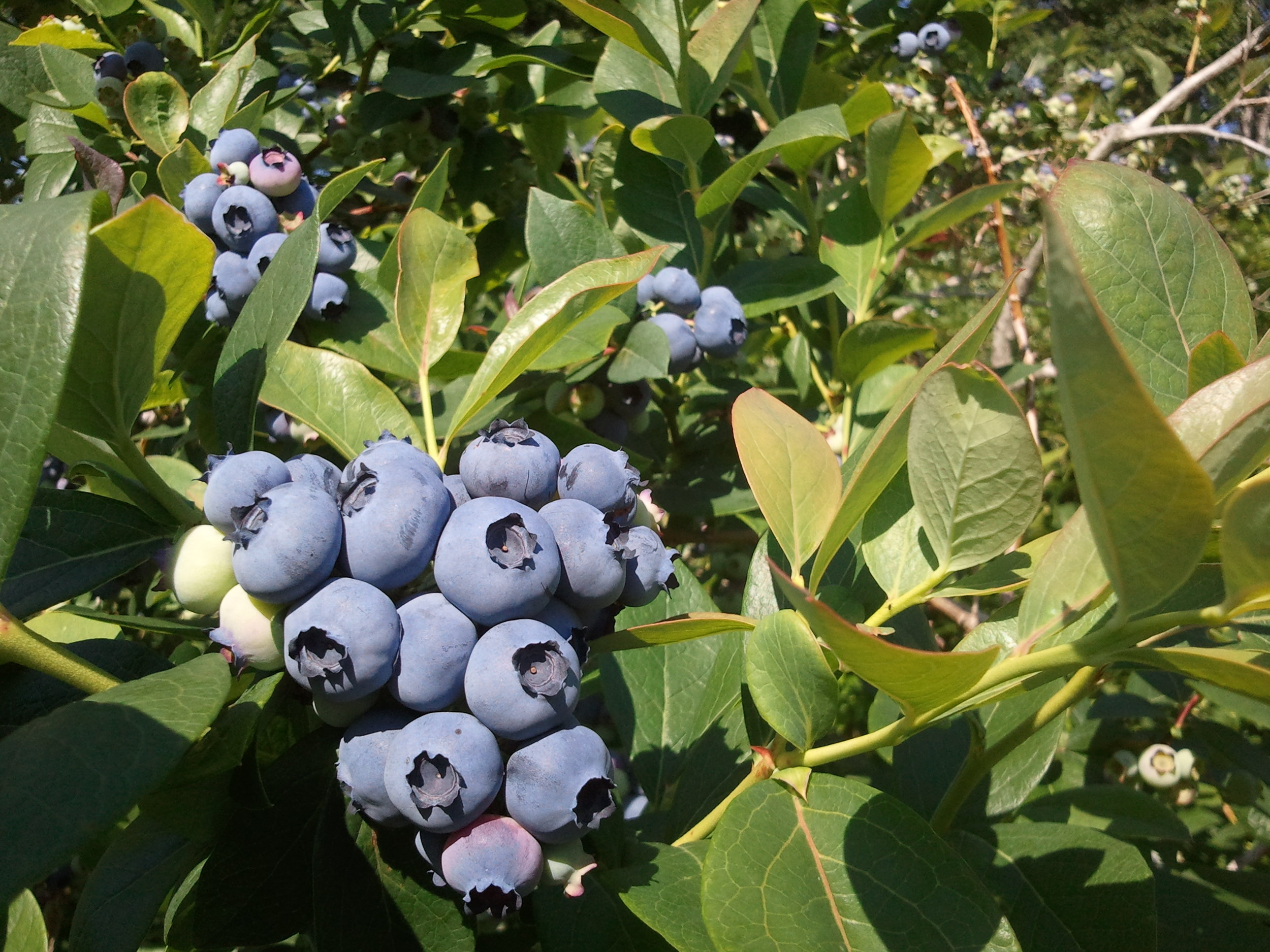 blueberry bush preorder - Each April and October we dig fully-grown bushes to order. These range from 4 to 7 ft high and will crop for 20 to 40 more years. Pre-order today!