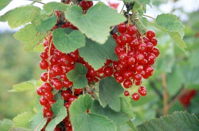 red currants - These jewel-like berries are strongly tart-sweet so add a kick to salads, pies, tarts, summer puddings and other baked berry treats. They are often used atop cheesecakes, and in jellies and sauces for meats. Red currants crop from mid through late July.