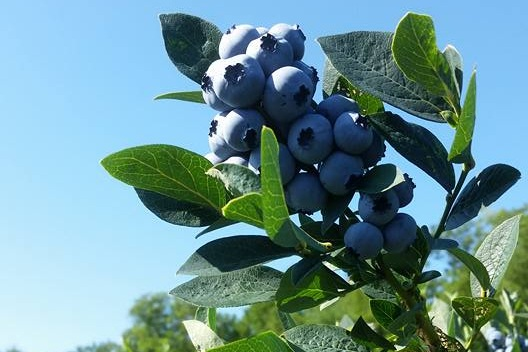 Blueberries - We have 12 acres of cultivated blueberries. Our varieties include: Earliblue, Blue Crop, Blue Ray, Collins, Berkeley, Elliot, Coville, Nelson, and Brigitta. One or more of these varieties will be ripe from mid-July to mid-September.
