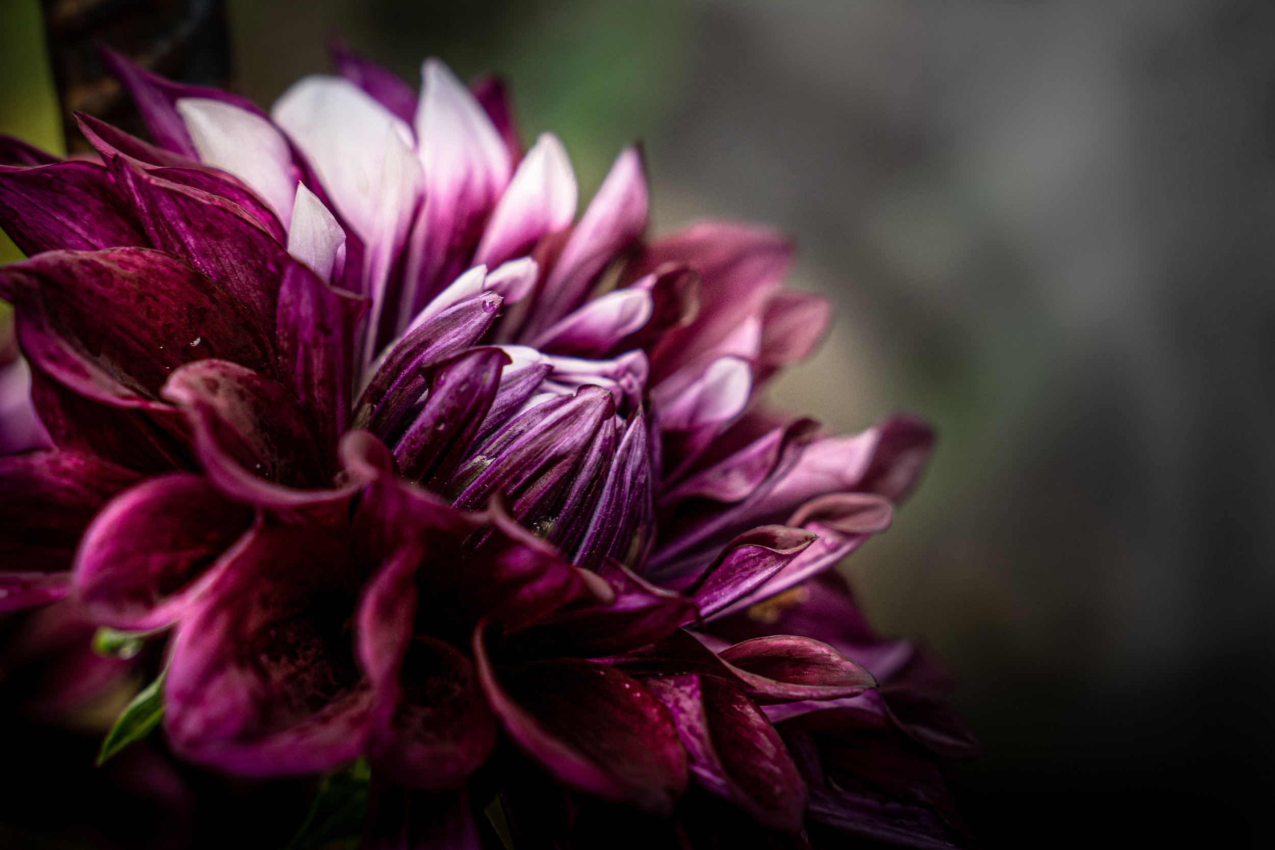 07-02-19-Lilies and Dahlias-7.jpg