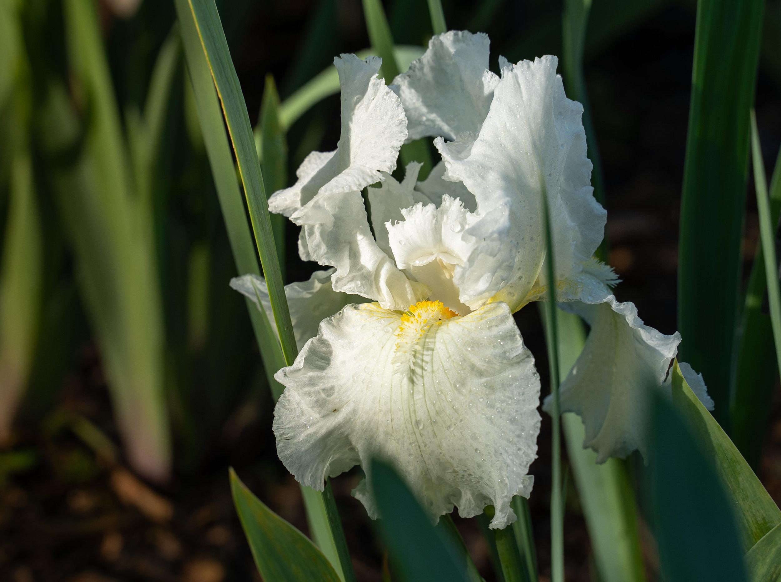 White Bearded Iris 2 (2).jpg