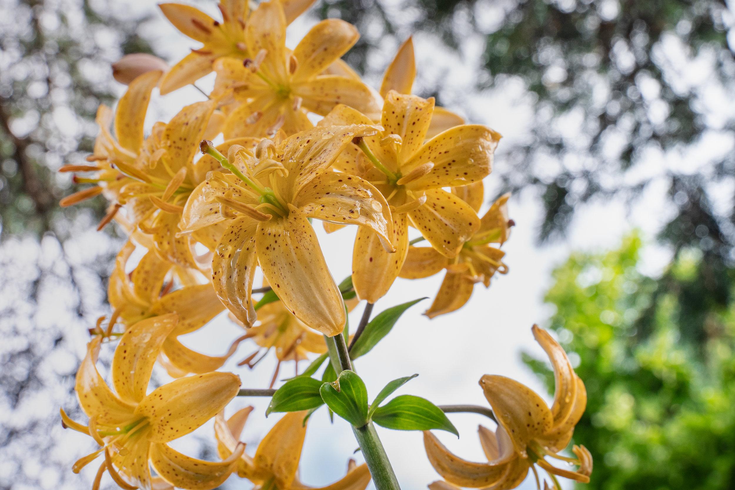 07-02-19-Lilies and Dahlias-1.jpg