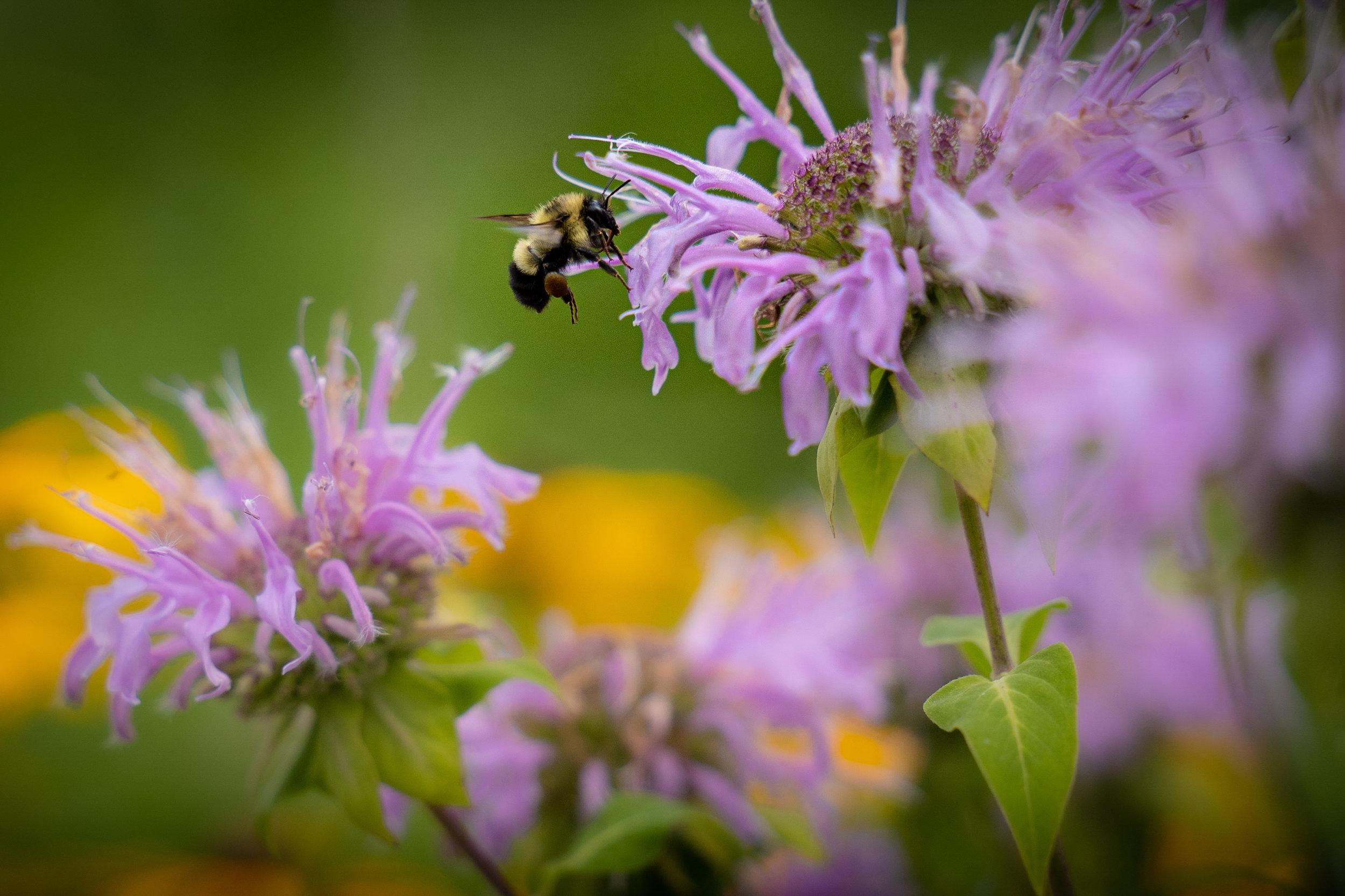Pollinators and Prairie (6 of 6).jpg