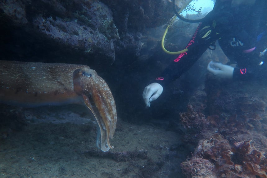 The alien intelligence of cephalopods - After a startling encounter with a cuttlefish, Australian philosopher Peter Godfrey-Smith set out to explore the mysterious lives of cephalopods. He was left asking: why do such smart creatures live such a short time?