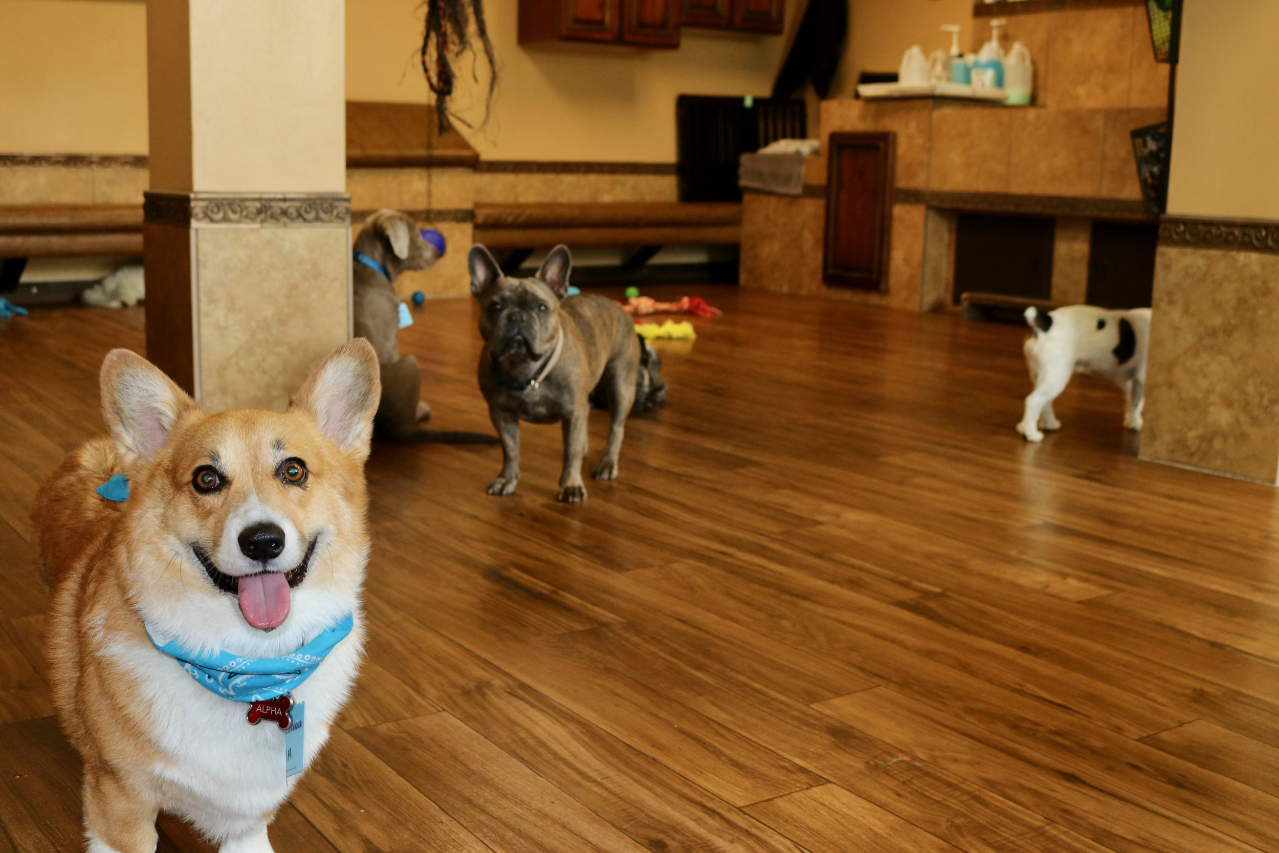 small-dogs-daycare-dog-boarding-pool-cageless6.jpg