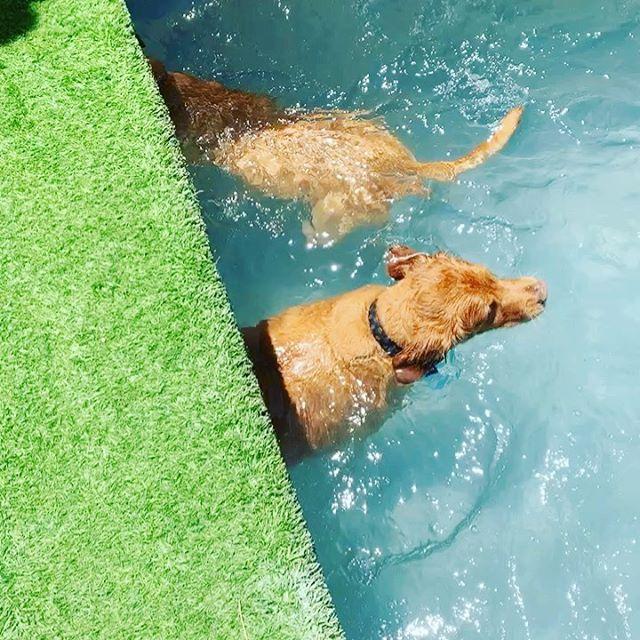 Pool time equals fun time at @alwaysunleashedpetresort #pool #petresortAZ #scottdale #dog #doggiedaycare #dogboarding #dogtraining #dogpool