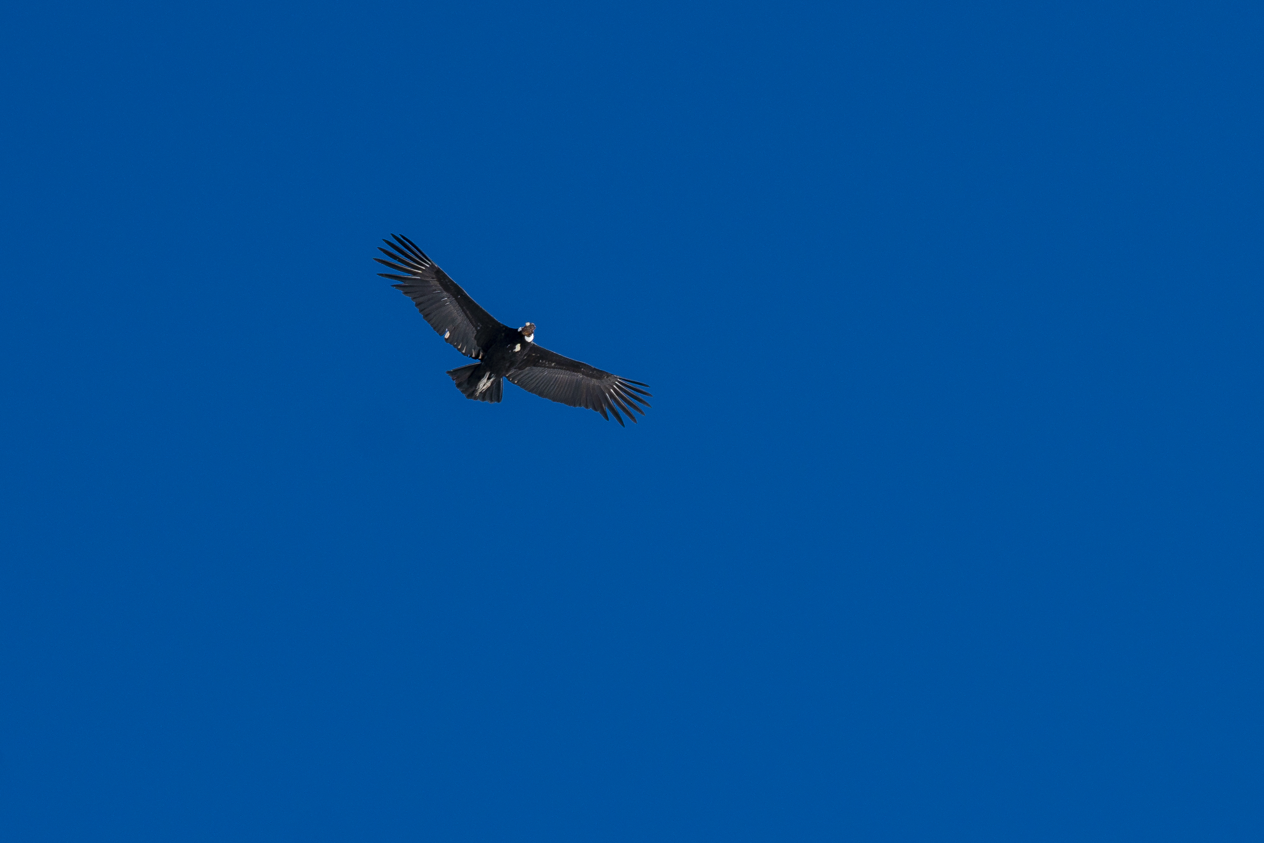 Condor doing a fly by