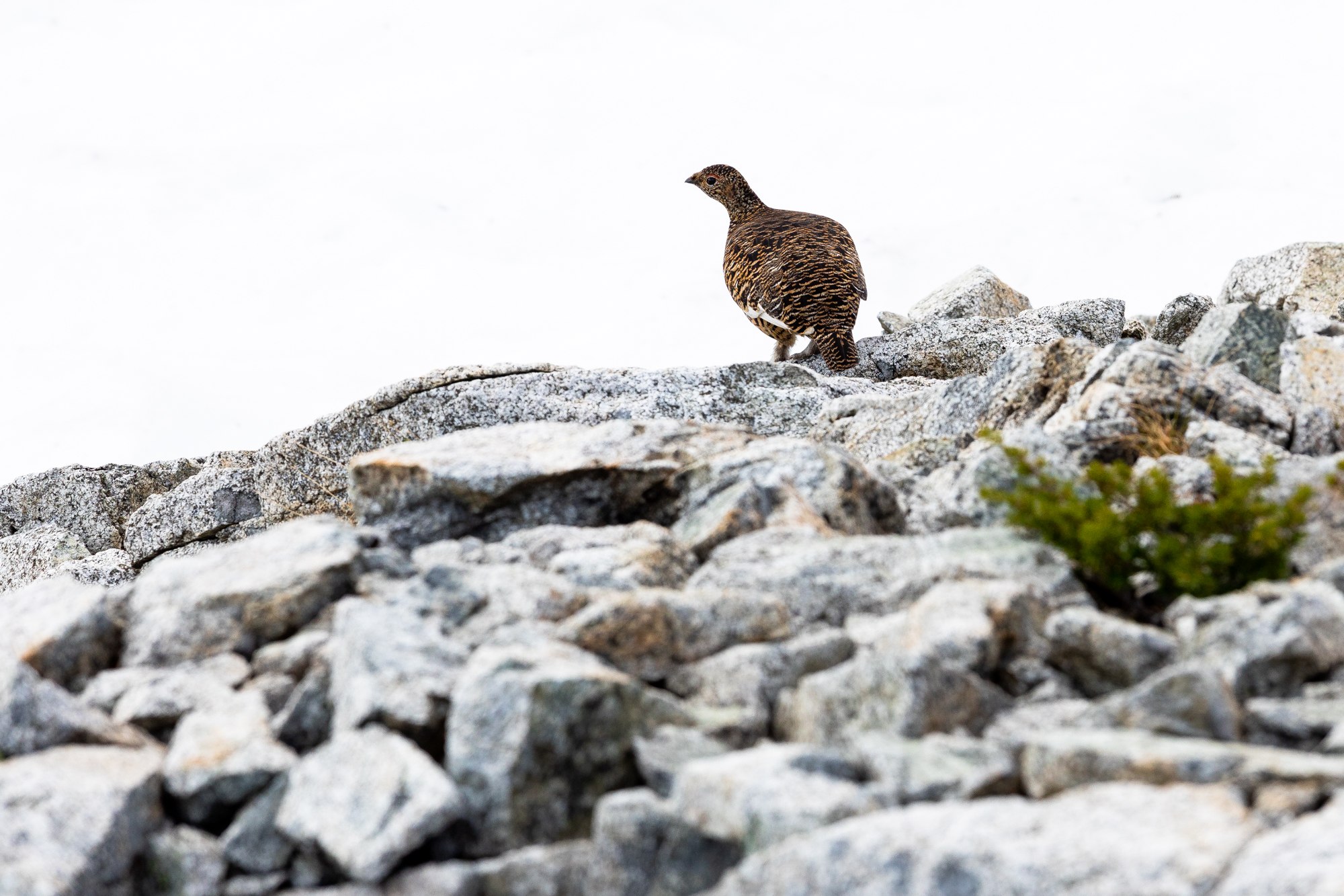 We came upon a grouse with a lot of little ones.
