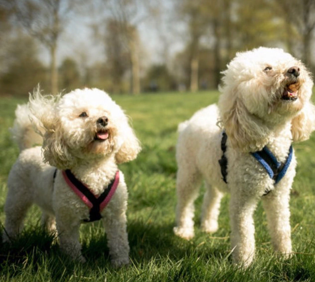 """Milo and Lulu    """"I cannot tell you how amazing Emma is with our two toy poodles. She walks them every day and they love their time with her. They are exhausted when they come back. Her instagram feed shows how much fun they have with their friends.""""  - Georgie C."""