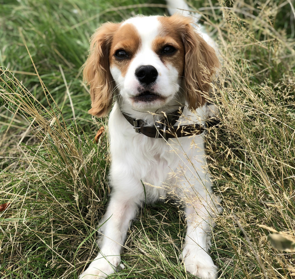 """Charlie    """"Emma is one of the most reliable and trustworthy people out there! Her love and care for animals is transparent and she always puts the extra mile in. Emma loves Charlie as if he were hers and he comes back home tale wagging every single time!""""  - Nawar K."""
