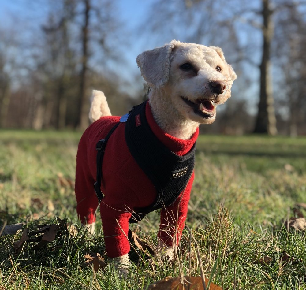 """Romeo    """"We genuinely couldn't live without Emma and her team! Our dog's literally count down the seconds to Emma's arrival every morning. She is the best in the business and is the most caring and attentive dog whisperer you could ever hope to meet!""""  - Ambika M."""