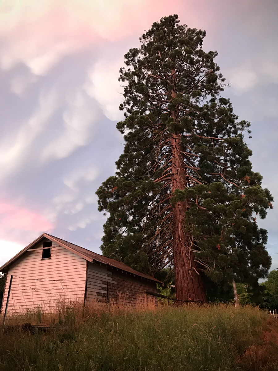 Giant American Sequoia Tree. Landscape EDPI. Sharon Weymouth