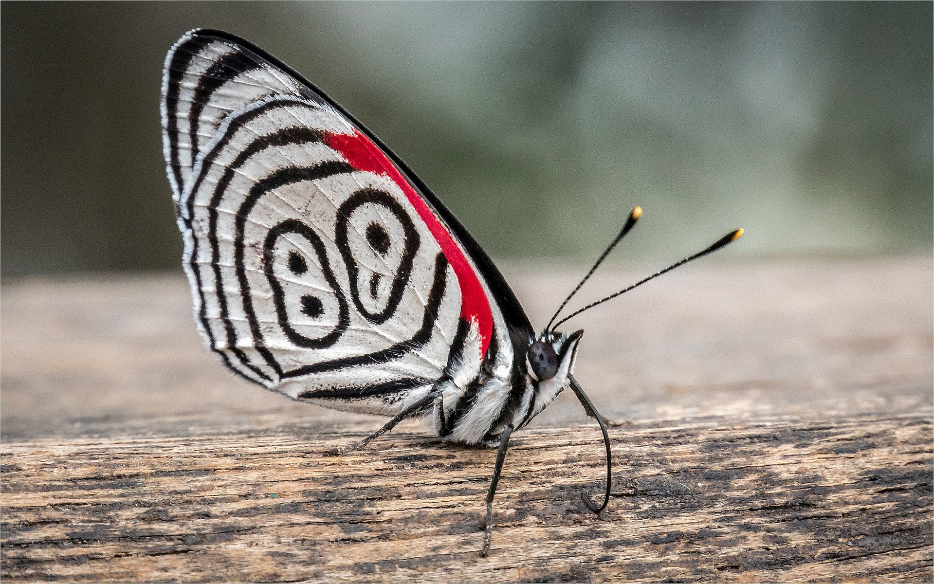 88 Butterfly Agentina.jpg