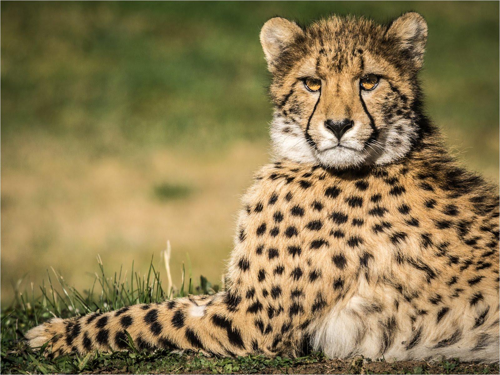 Cheetah Dubbo Zoo.jpg