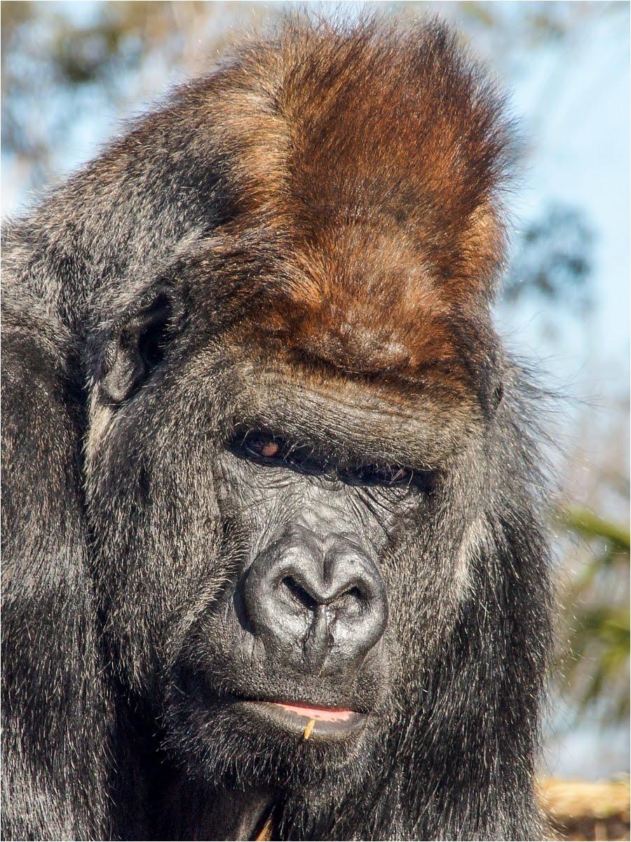 Gorilla Werribee Zoo.jpg