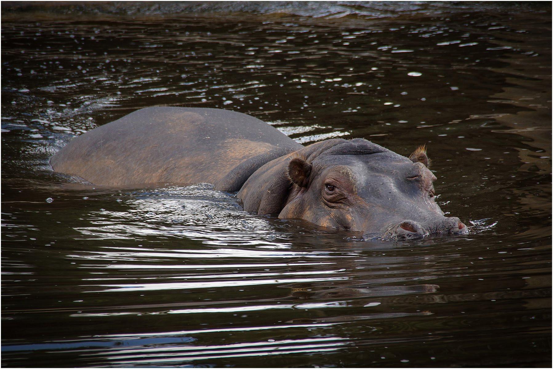 Hippo Werribee Zoo.jpg