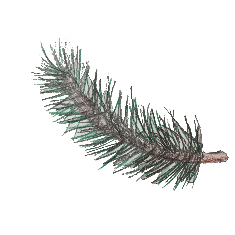 Year 1 Pine