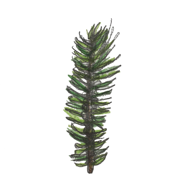 Year 5 Spruce